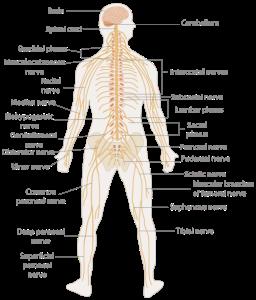 500px-te-nervous_system_diagram-svg