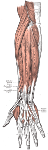 forearm_muscles_back_superficial