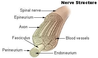 illu_nerve_structure
